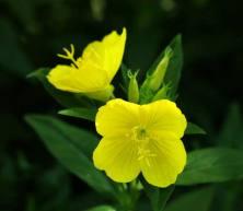 evening-primrose-flower